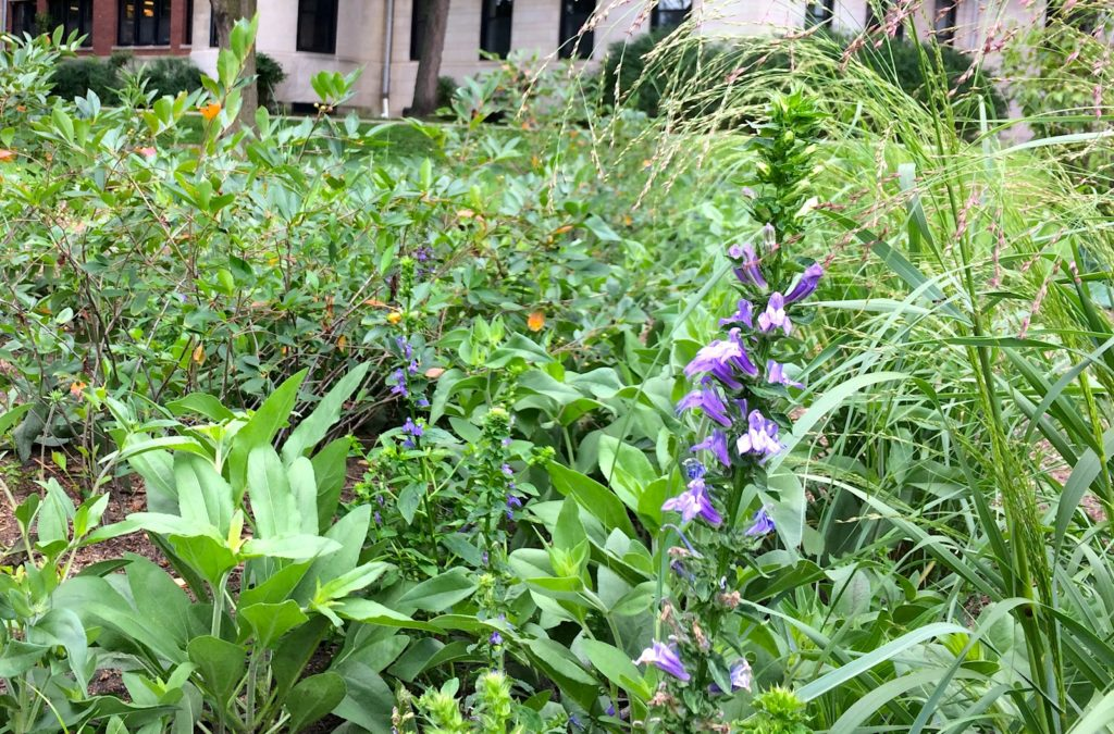 Great blue lobelia in bloom in the Civic Center Demonstration Garden