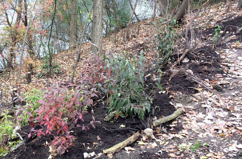 Aronia arbutifolia at Harbert Park