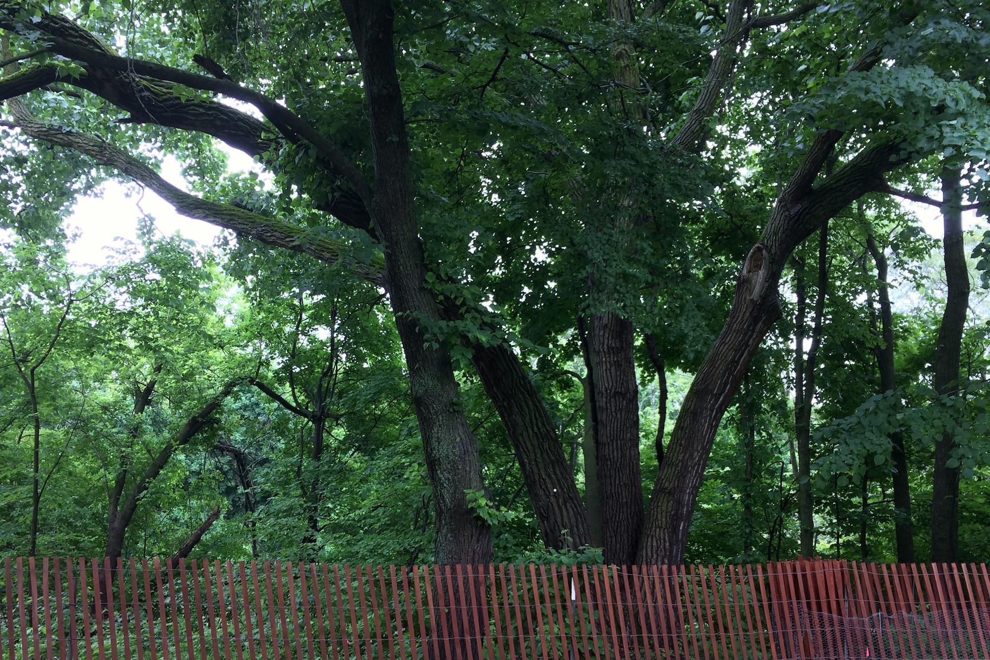 Cottonwood at the Ladd Arboretum