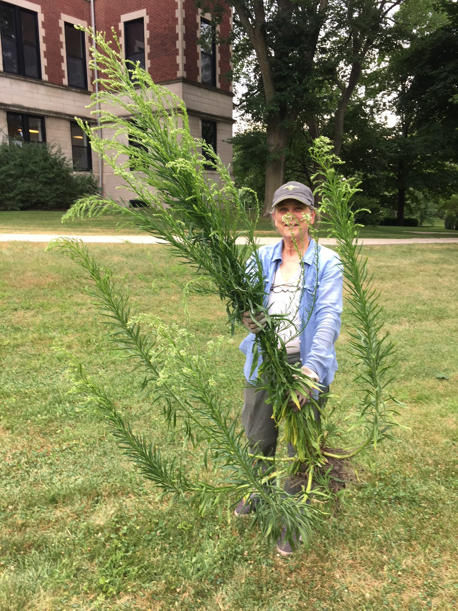 Giant horseweed at Civic Center Garden