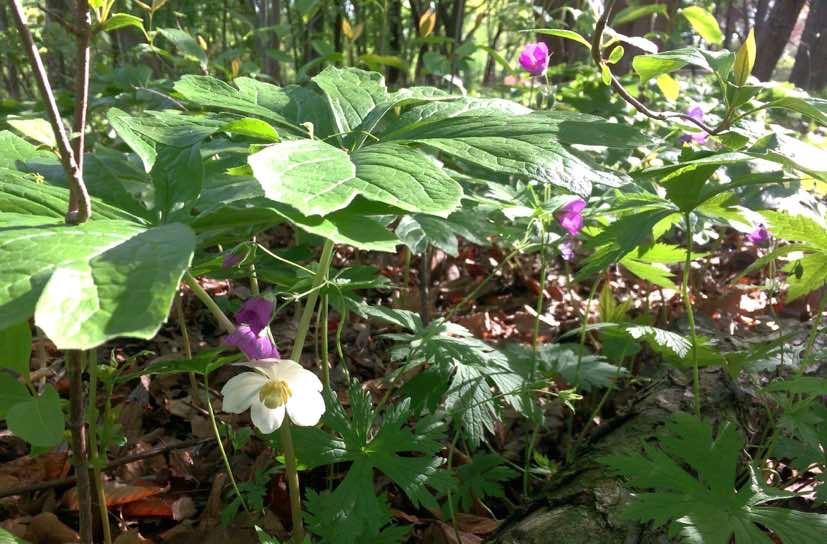 Mayapple & wild geranium